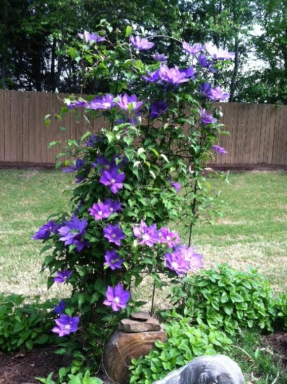 Clematis2019Backyard